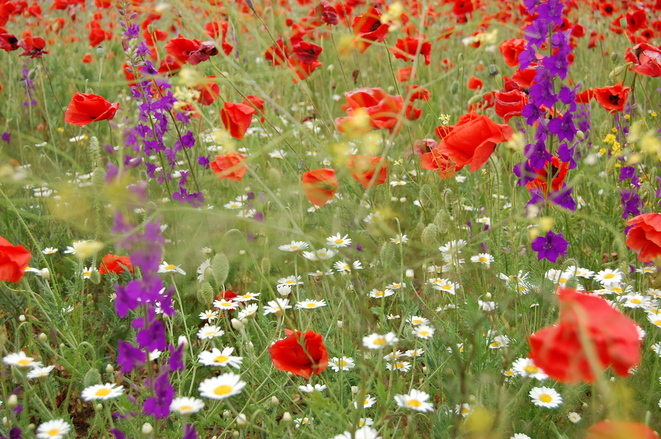 flowers-field-1352751